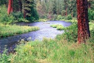 metolius_river_pine_lg2