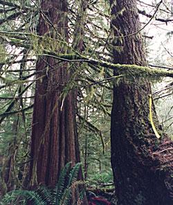 tillamook_trees