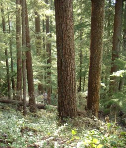 Western Oregon BLM old growth forest