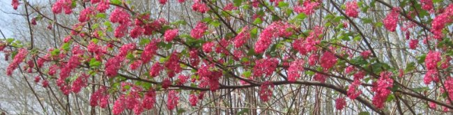 Flowering Red Currant on State Forest Land