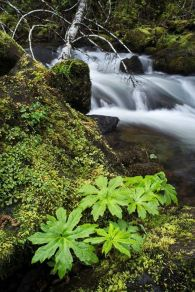 Elliot Creek, Tillamook Forest (photo by Gigi Peek)