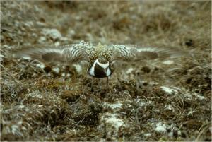 plover (1)