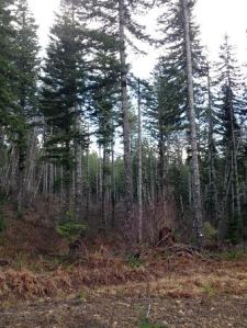 Thinned forest in the Wolf Creek area