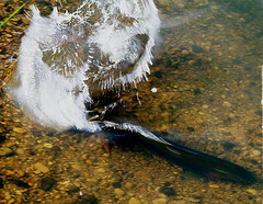 Coho Salmon are listed under the Endangered Species Act