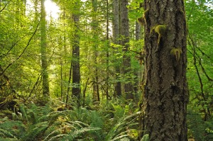 Old growth slated for clearcutting in the Clatsop state forest (photo by Trygve Steen)