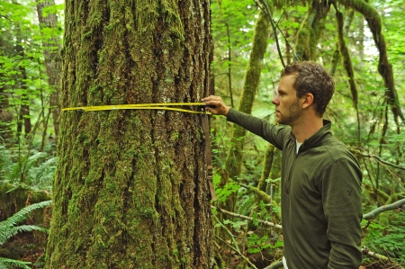 Measuring old trees in the Homesteader sale - photo by Trygve Steen